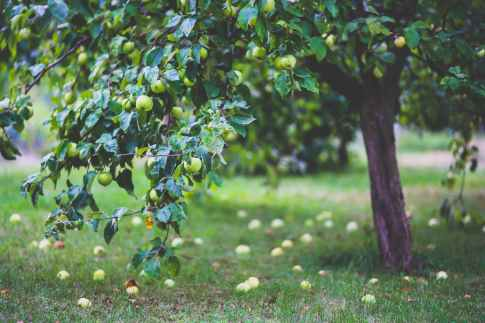healthy-apple-summer-garden.jpg